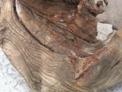 什么是崖柏的風化紋和木抱石