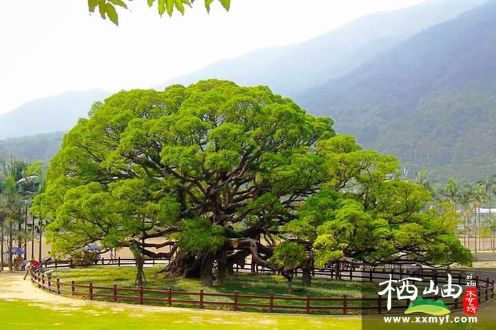 園林綠化設計大榕樹