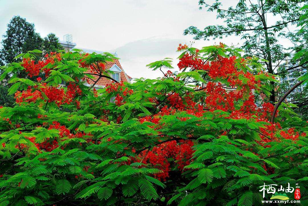 別墅庭院中鳳凰木的栽種