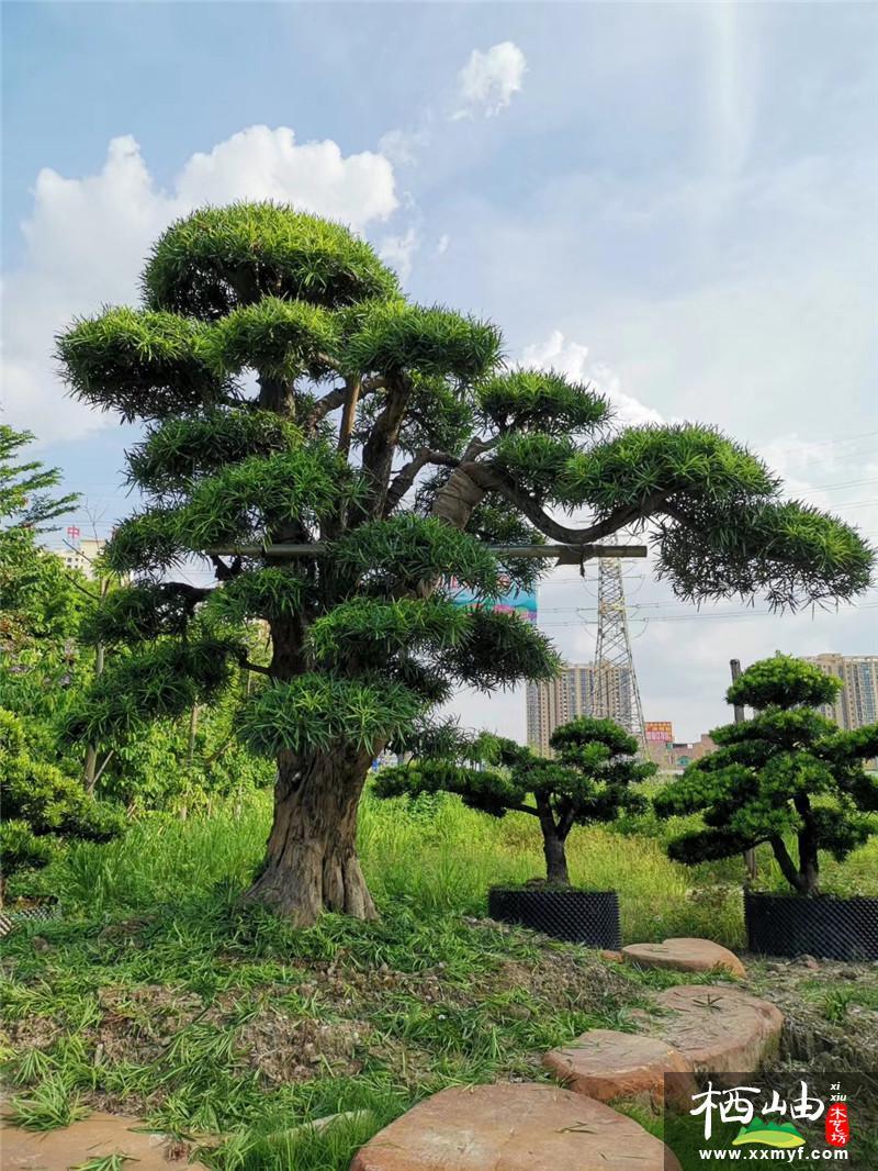 園林景觀樹
