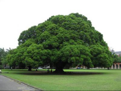 園林綠化設計大榕樹種植