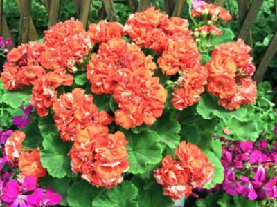 別墅庭院景觀中大花天竺葵的飼養心得分享