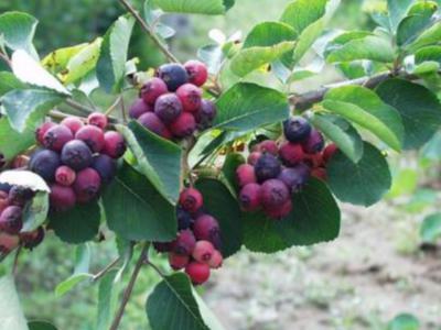 五種適宜種植別墅花園里的水果
