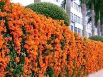 植物墻是園林綠化的分割線