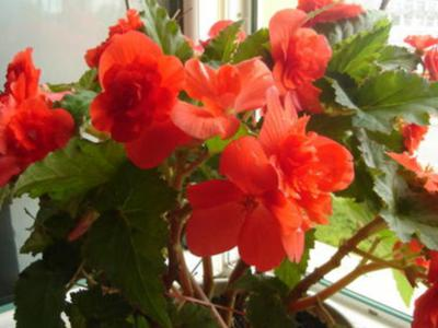 別墅庭院園林里夫婦海棠花日常養護