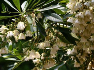 別墅庭院綠化杜英的種植與繁殖