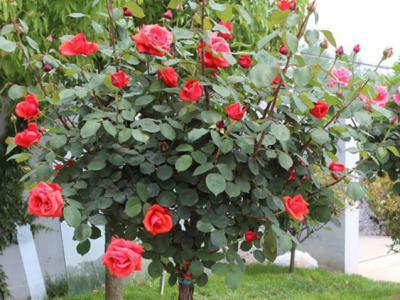 別墅庭院園林設計玫瑰花種植技術