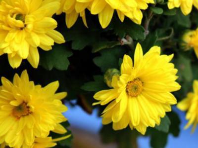 別墅園林設計中黃菊花與蒿同為菊科