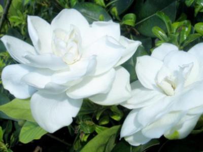 庭院花園綠植養護梔子樹的生長發育特點