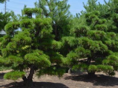別墅庭院設計松柏樹的含意