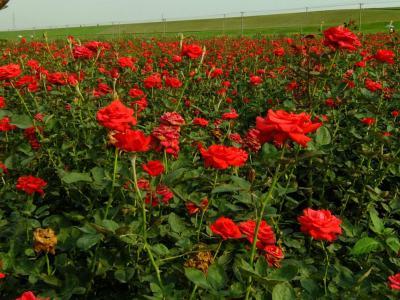 別墅花園設計中玫瑰花栽培方法