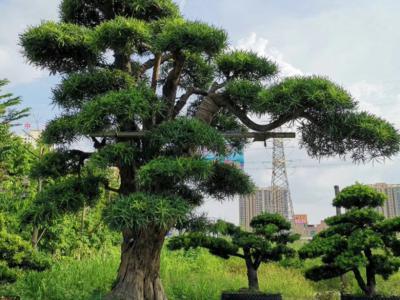園林綠化的名貴樹木有哪些
