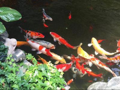 錦鯉魚池養護干凈清澈步驟
